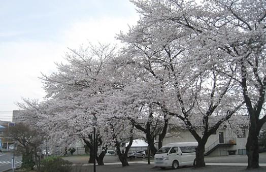 慈眼寺の桜_3