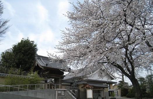 慈眼寺の桜_2